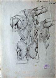 Учебный рисунок мышц спины. Гипсовая постановка